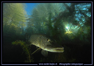 King Pike Fish... :O)... by Michel Lonfat 